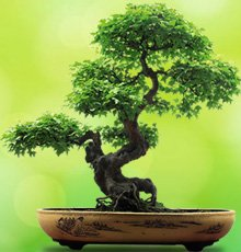 Significado do Bonsai