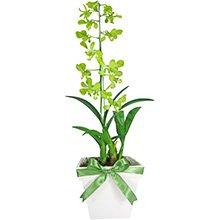 Orquídea Denphale Verde