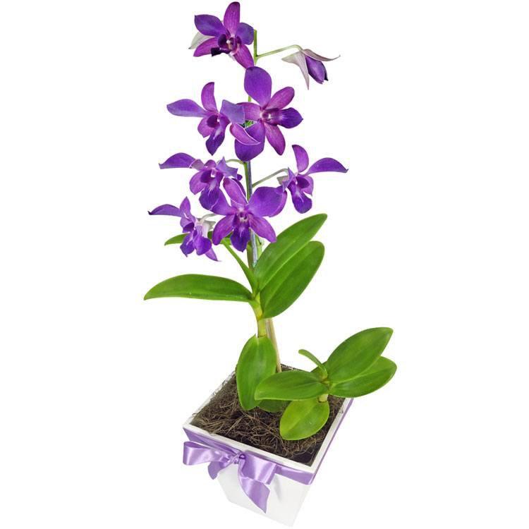 Orquídea Denphale Lilás