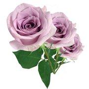 Três Rosas Colombianas Lílas