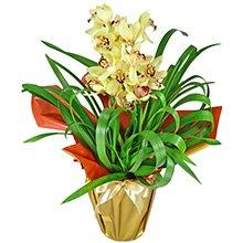 Orquídea Amarela Presente
