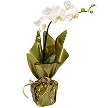 Orquídea Phalaenopsis Plantada