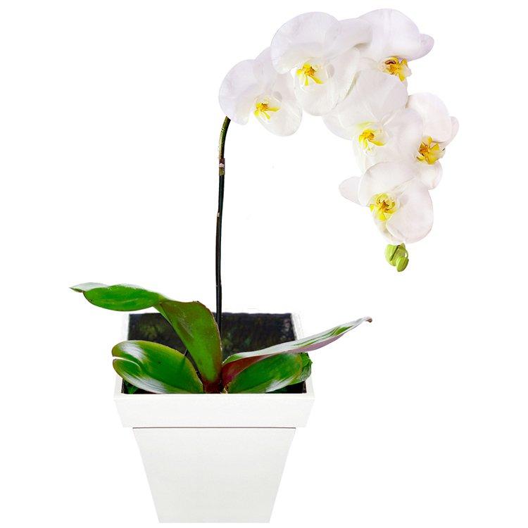 Orquídea Phalaenópsis Plantada
