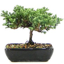 Bonsai Juníperus Procubens 03 anos