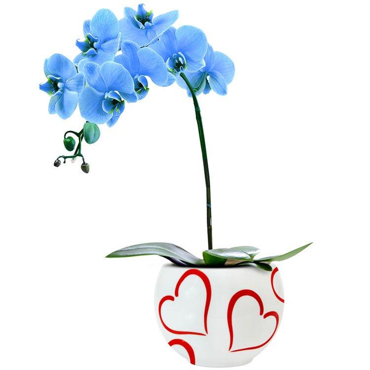 Passione da Orquídea Azul