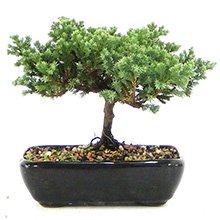 Bonsai Juníperus Procubens 05 anos