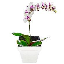 Delicata de Phalaenópsis