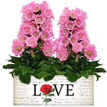 Love & Campânulas Rosas