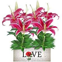 Love & Lírios Rosa