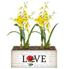 Love & Orquídea Chuva de Ouro