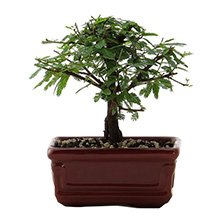 Bonsai Caliandra 3 Anos