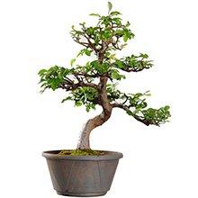 Bonsai Ulmus Parvifolia De 14 Anos