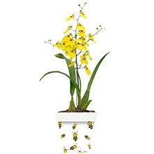 Orquídea Chuva de Ouro e Abelhinhas