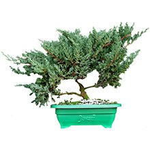 Bonsai Juniperus Procumbens 6 Anos