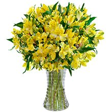 Luxuosas Astromélias Amarelas no Vaso