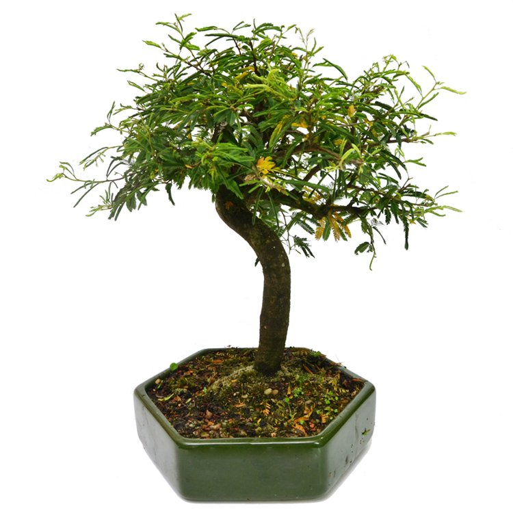 Bonsai Caliandra Rosa 10 Anos