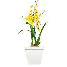 Deslumbrante Orquidea Chuva de Ouro