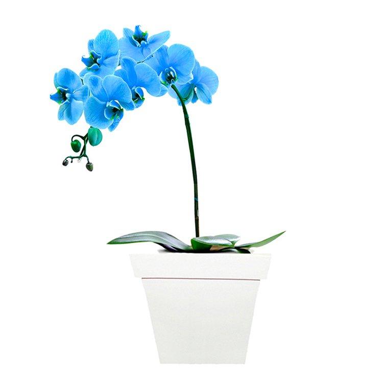 Deslumbrante Orquídea Blue