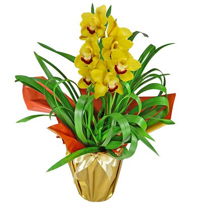 Maravilhosa Orquídea Amarela