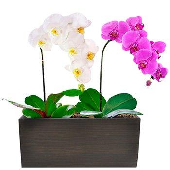 Lindas Orquideas Phalaenopsis Branca e Pink