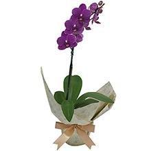 Mini Orquídea Rara Lilás