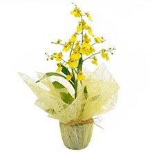 Orquídea Chuva De Ouro Presente