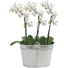 Nobres Mini Orquideas Brancas