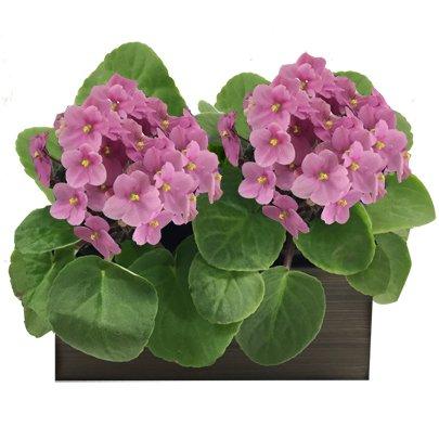 Dupla de Violetas Rosas