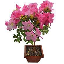 Bonsai Azaleia Pink