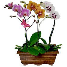 Jardim Phalaenopsis Sortidas