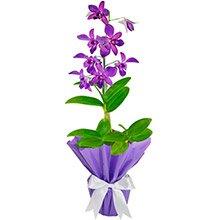 Orquídea Denphale Lilás Presente