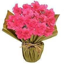 Linda Azaléia Pink Plantada