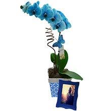 Magnífica Orquídea Azul Para Ele