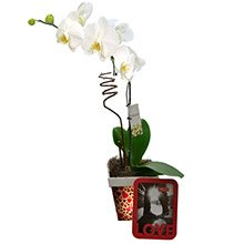 Magnífica Orquídea Branca Para Ela