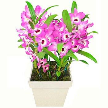 Orquídea Luxo Lilás