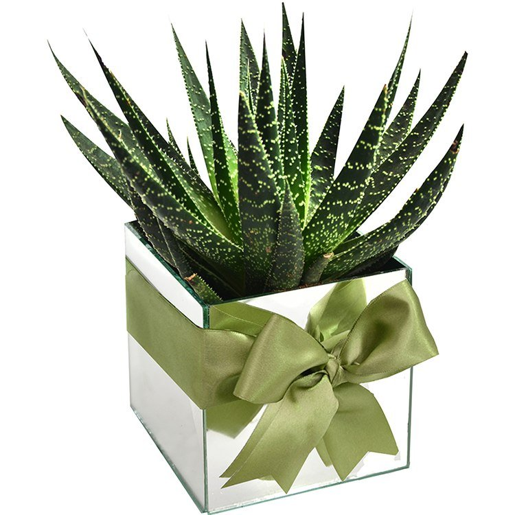 Cubo Espelhado & Aloe Aristata
