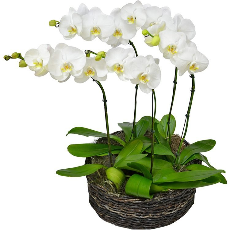 ofisticadas Orquideas Phalaenopsis