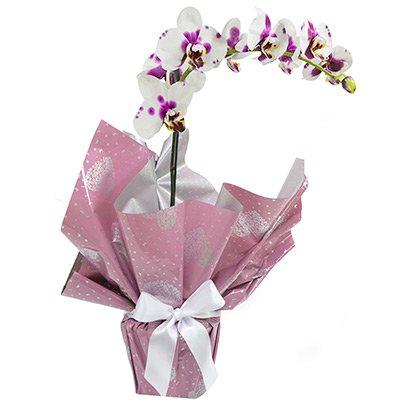 Orquídea Phalaenópsis Mesclada Presente