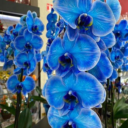 Orquídea azul para todas as ocasiões
