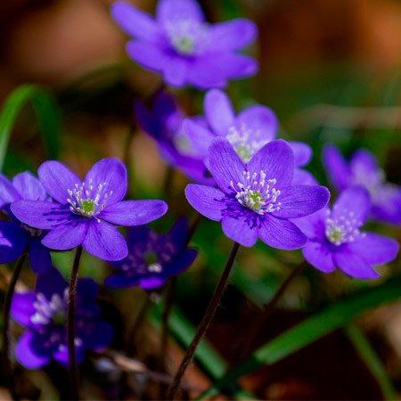 Violeta plantada para presente