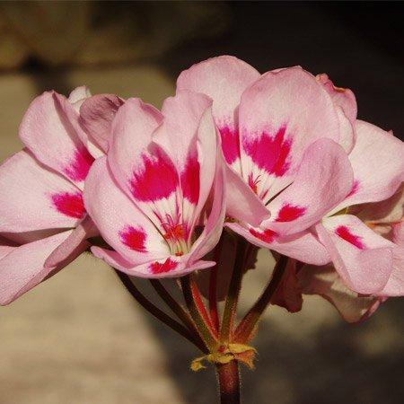 Pétalas de cíclame cor de rosa