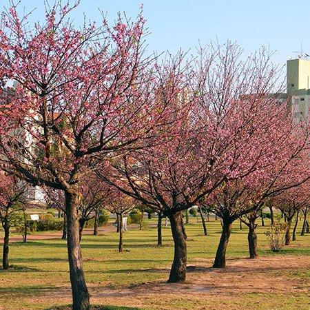Foto da Praça das Cerejeiras