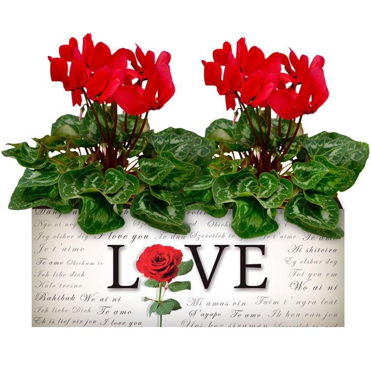 Love & Ciclames