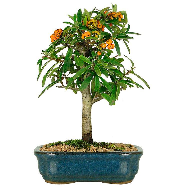 Bonsai Pyracantha Fruto Amarelo 4 Anos