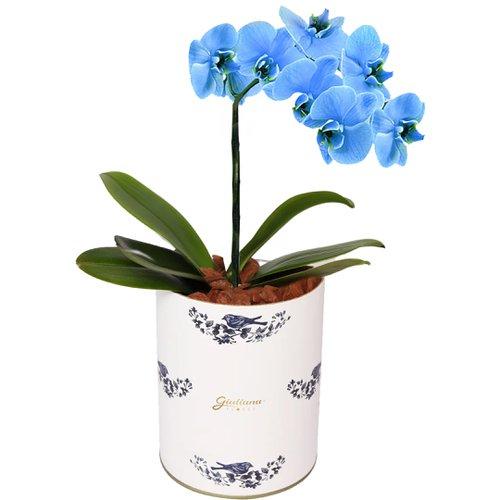 Glamurosas orquídeas azuis flores para o Dia dos Pais
