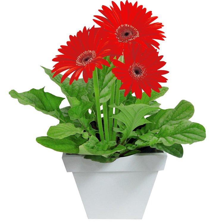 Gérbera Vermelha Plantada