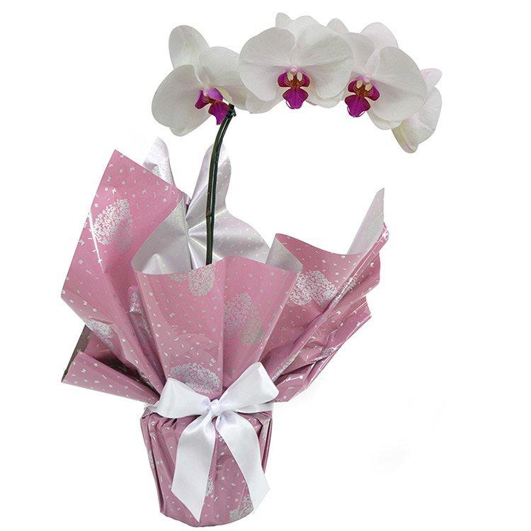 Orquídea Phalaenopsis Semi Alba Plantada