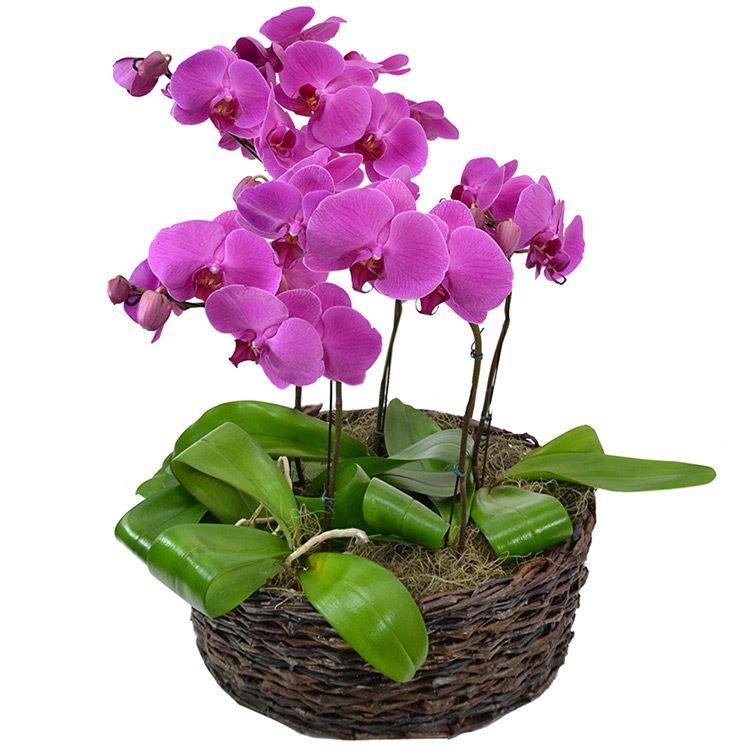 Jardim de Phalaenopsis Pink
