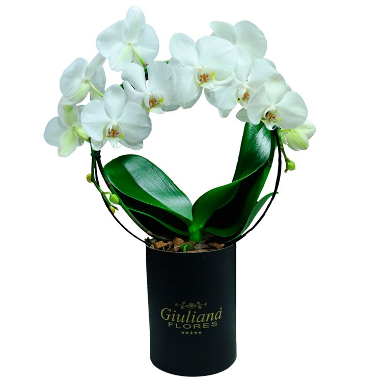 Orquídea Phalaenopsis Branca em Arco