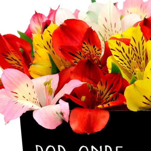 Astromélias Coloridas no Box Por onde for floresça
